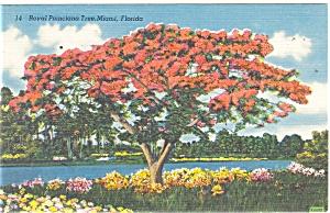 Miami FL Royal Poinciana Tree Postcard p11259 (Image1)