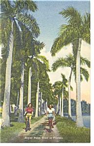 Royal Palm Trail in Florida Postcard p11260 (Image1)