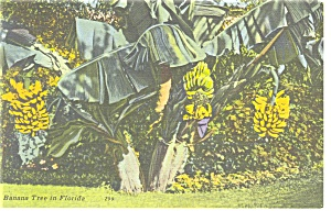 Banana Tree in Florida Postcard p11261 (Image1)