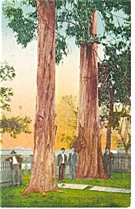 Redwoods in California  Postcard p11270 (Image1)