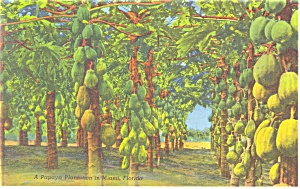 Papaya Trees Florida Postcard P11283