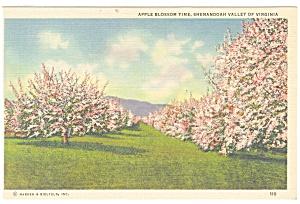 Shenandoah Valley VA Apple Blossom Time Postcard p11364 (Image1)