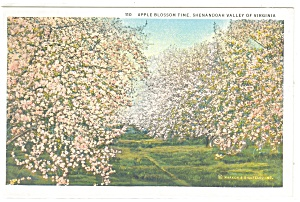 Apple Blossom Time in the Shenandoah Valley VA  Postcard p11365 (Image1)