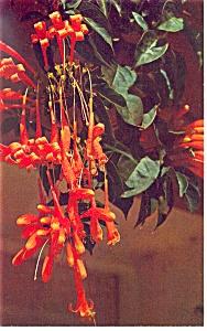 Blossom of the Flame Vine Tropical Florida Postcard p11385 (Image1)