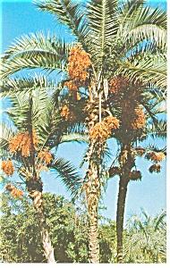 Senegal Date Palm Florida Postcard p11389 (Image1)