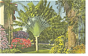 Travelers Palm in Florida Postcard p11393 (Image1)