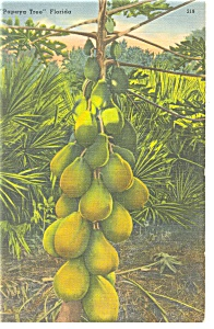 Papaya Tree Florida Postcard P11395