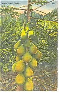 Papaya Tree Florida Postcard p11395 (Image1)