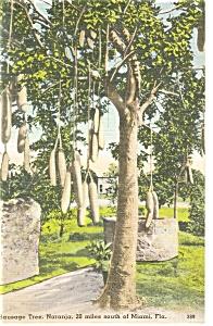 Naranja FL Sausage Tree Postcard p11399 (Image1)