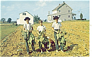 Amish Boys Gathering Tobacco Postcard P11405
