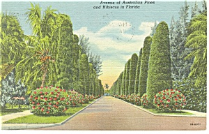 Avenue of Australian Pines Florida Postcard p11432 (Image1)