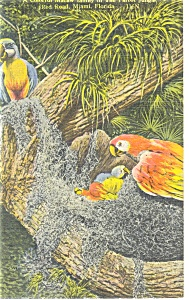 Parrot Jungle FL  Macaw Family Postcard p11442 1951 (Image1)