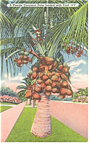 Florida Coconut Palm Loaded With Fruit Postcard P11541