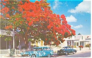 Key West FL Royal Poinciana Tree Postcard p11574 Old Cars (Image1)