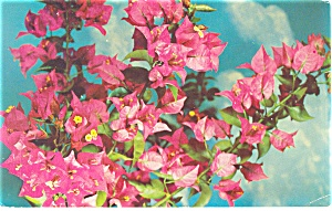 Bougainvillea in Bloom Postcard 1966 (Image1)