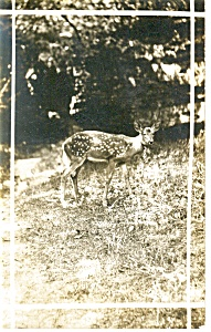Spotted Deer Real Photo Postcard (Image1)