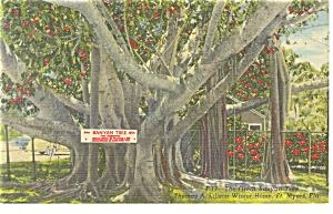 Edison s Banyan Tree in Florida Postcard p12237 1955 (Image1)
