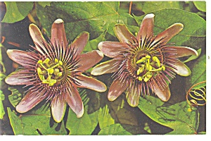 Passion Flower Postcard P12448 1981