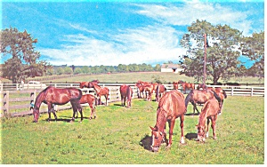 Horses In The Blue Grass Of Kentucky Postcard P12514