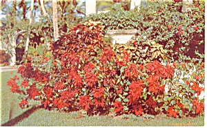 Poinsettia in Florida Postcard (Image1)