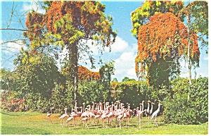 Flamingos Parrot Jungle Miami FL Postcard p12850 (Image1)