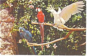 Miami s Beautiful Parrot Jungle Postcard p12858 1957 (Image1)