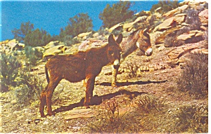Burros Sweethearts Of The Desert Postcard P12869 1962
