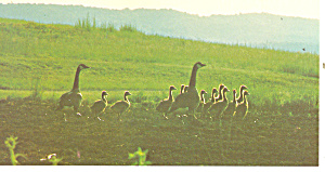 Geese and Goslings on Morning Walk Postcard (Image1)