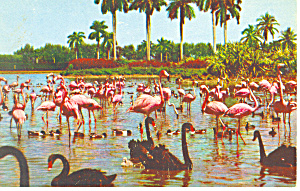Flamingos Swans at Hialeah Race Track Postcard p12898 (Image1)