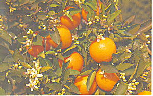 Blossoms and Oranges on an Orange Branch Postcard (Image1)