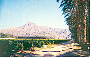 Vineyard,Date Palms and Mountains Postcard (Image1)