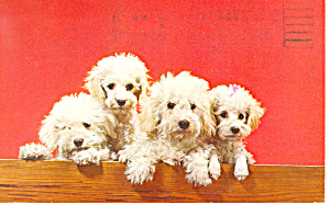 Four Adorable Poodles Postcard p12993 (Image1)