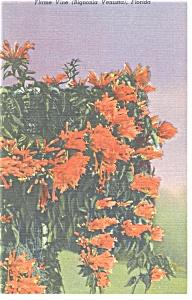 Flame Vine Fernandina FL Postcard p13044 (Image1)