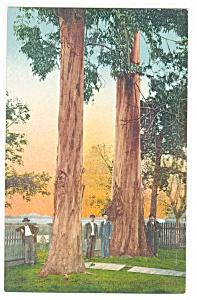 California Redwoods Postcard p13050 (Image1)