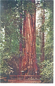 The Giant, Santa Cruz County, CA Postcard (Image1)