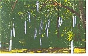 Sausage Tree  Mckee Jungle Gardens  FL Postcard p13052 (Image1)