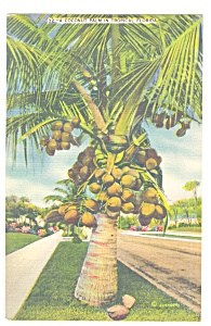 Coconut Palm in Tropical Florida Postcard p13053 (Image1)