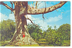 Kapok Tree, Clearwater, Florida Postcard (Image1)