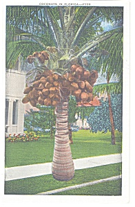 Coconuts in Florida Postcard p13055 (Image1)