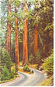 Redwoods Sequoia National Park CA Postcard p13056 (Image1)