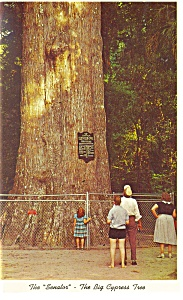 The Senator Cypress Tree, Florida Postcard (Image1)