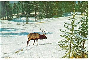 Bull Elk  (Wapiti) Postcard (Image1)