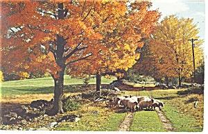 Flock of Sheep A Country Lane Postcard p13335 1985 (Image1)