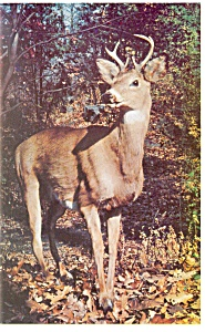 Deer in New England Postcard p13337 (Image1)
