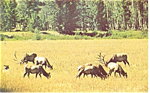 A Wyoming Elk Herd Postcard (Image1)