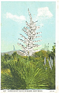 Yucca In Bloom Soap Weed Postcard P13345 1934