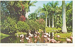 Flamingos in Tropical Florida Postcard p13426 1962 (Image1)