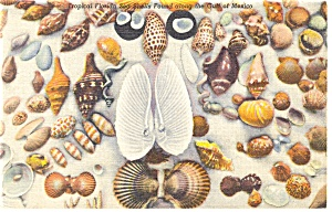 Shells in Tropical Florida Postcard p13427 1956 (Image1)
