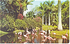Flamingos Sarasota Jungle Gardens Florida Postcard p13435 1958 (Image1)