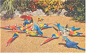 Macaws Parrot Jungle Miami FL  Postcard p13436 1959 (Image1)
